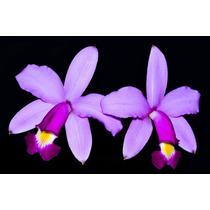 Orquídea Cattleya Violacea