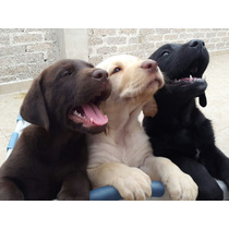 Preciosos Cachorros Labrador Retriever - Aptos A Pedigri Int