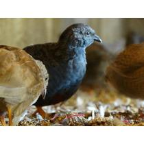 Ovos Galados De Codorna Chinesa - Compre 12 Leve 15