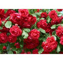 Planta Rosales De Rio Negro Rosauer Rojo Rosas Exteior