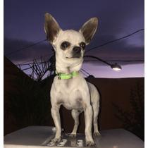 Chihuahua Para Cruza Semental