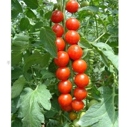 Plantar Tomate Cherry. Gallery Of Cultivo Del Tomate Variedad Cherry ...