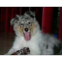 Cachorros Collie Blue Merle
