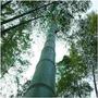 20 Semente Bambu Mosso Gigante + Brinde