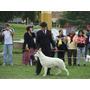 Cachorros! Ovejero Aleman Blanco (pastor Blanco Suizo)