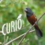 Curió Treine Seu Pássaro De Forma Profissional Ave Aves