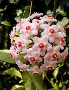 Planta ex tica hoya carnosa flor de cera flor for Donde venden plantas