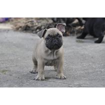 Macho Fulvo Bulldog Frances Excelente Filhote Pedigree Cbkc