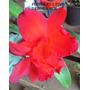 1 Muda De Orquidea Cattleya Vermelho Intenso Porte Compacto