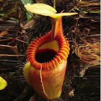 300 Sementes Planta Carnivora Nepenthes P/ Mudas Nefentes