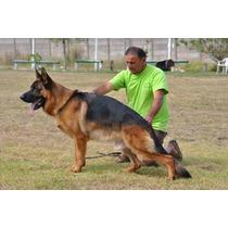 Cachorros Ovejero Aleman Poa Cria De Selección