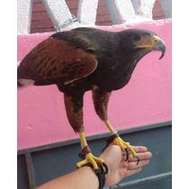 Aguila Harrys Para Cetreria