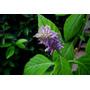 Incienso Salvia Divinorum, 10,15,20,40 & 50 X