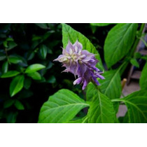 Incienso Salvia Divinorum, 5 A 50 X
