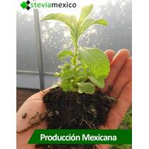 Plántula De Stevia Morita I I. Alta Calidad