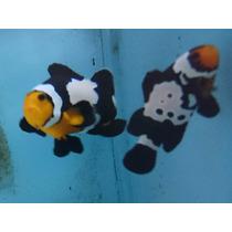 Peixe Marinho Palhaço Black Ice Snowflake ( Nemo) 2 A 3 Cm