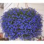 Lobelia Azul Sementes P/ Mudas Belíssima Flor Pendente