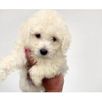Caniche Mini Micro Toy Hembra Blanca Cachorro!! (consulte)