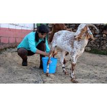 Corrida Financiera Para Proyecto De Cabras Lecheras