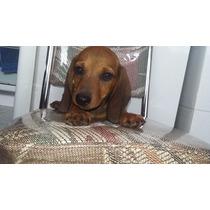 Cachorro (1) De Perro Salchicha Raza Pura Hermoso!