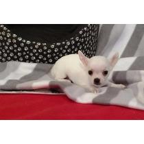 Chihuahuas Los Mas Minis!!!