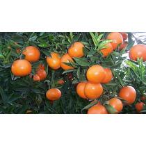 Mandarina Pinatera ( Árbol ) , Pinatera O Chililla