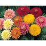 Semillas De Crisantemo, 50 Semillas Colores Surtidos $250