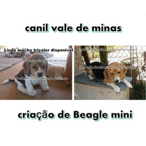 Beagle Macho Mini