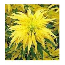 Amaranto Golden 10 Semillas Hortaliza Flor Maceta Nmp Sdqro