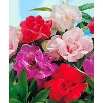 Balsamina Mix 10 Semillas Flor Planta Jardín Nmp Sdqro
