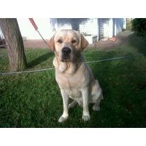 Servicio De Preñez Labrador Macho Dorado Con Papeles Fca