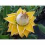 Sementes De Banana Lotus Musaceae P Mudas Vaso Flor Jardim