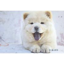 Cachorro Chow Chow Blanco/crema. Hago Envios!