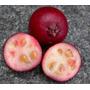 Araçá Vermelho Araça Goiaba Sementes Frutas Para Mudas