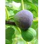 Higuera Breva O Negra (higo) - Frutales De Vivero Kirken