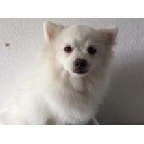 Vendo Cachorro Pomerania
