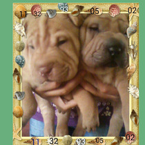 Cachorros Shar Pei!!!