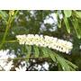 Catechu - Acacia Catechu - Árvore - Sementes Para Mudas