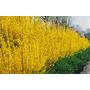 Forsythia Sino Dourado Cerca Viva Flor Sementes Para Mudas