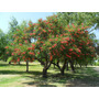 Ceibo- Árbol Nativo, Ideal Humedad- Flor Nacional Uruguay