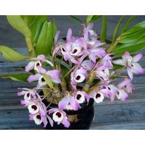 Orquídea Espécie Dendrobium Nobile - Olhos De Boneca (mudas)