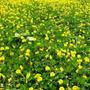 Sementes De Grama Amendoim Forrageiro 60g Para Jardins Mudas