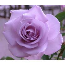 Mix Kit Mudas Rosas Príncipe Negro Rosa Lilás E Amarelo Ouro