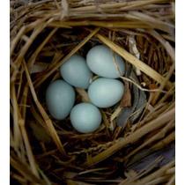 Ovos Azuis Galinha Indio Gigante Galados15 Ovos Selecionados