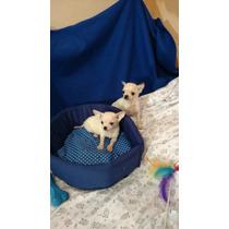 Chihuahuas Blancos Mini