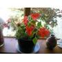 Flor De Azucar/alegria En Maceta Plastica De Color.souvenirs