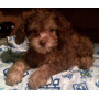 Ultimo Y Lindo Cachorrito French Poodle Chocolate Mini T Cup