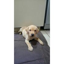 Cachorro Labrador Hijo De Chocolate Y Negra