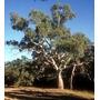 50 Semillas Sembrar Eucaliptus Grandis