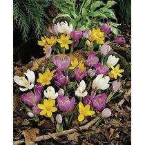 Crocus Chrysanthus En Mezcla De Colores. Croco. 10 Bulbos